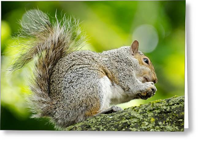 Tree Squirrel Greeting Cards - Tree Squirrel Greeting Card by Ellen Henneke