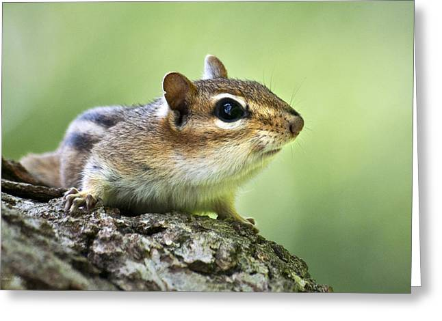 Soft Fur Greeting Cards - Tree Surfing Chipmunk Greeting Card by Christina Rollo
