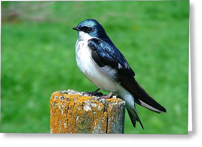 Thomas Young Greeting Cards - Tree Swallow 3 Greeting Card by Thomas Young