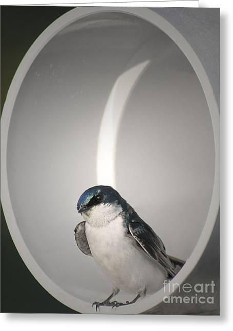 Tree Swallow Greeting Card by Anita Oakley