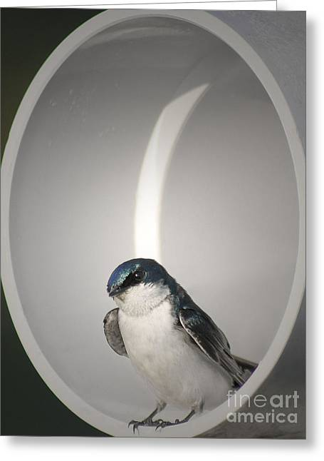 Avian Greeting Cards - Tree Swallow Greeting Card by Anita Oakley
