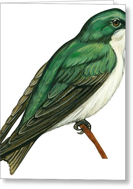 White Background Drawings Greeting Cards - Tree swallow  Greeting Card by Anonymous