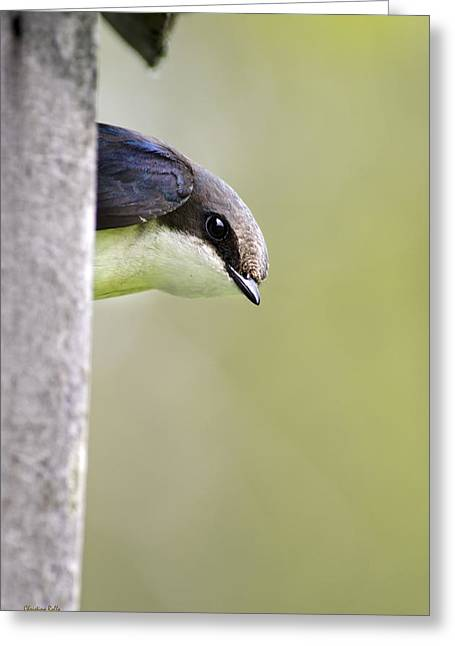 Swallow Greeting Cards - Tree Swallow Closeup Greeting Card by Christina Rollo