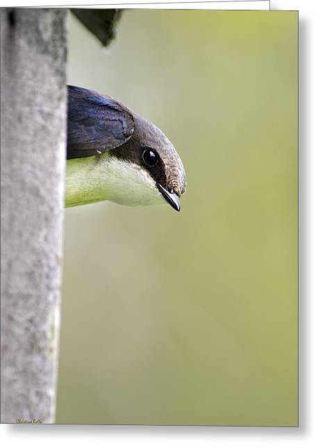 Swallow Photographs Greeting Cards - Tree Swallow Closeup Greeting Card by Christina Rollo