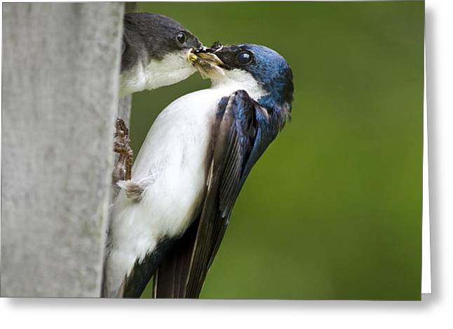 Tree Swallow Feeding Chick Greeting Card by Christina Rollo