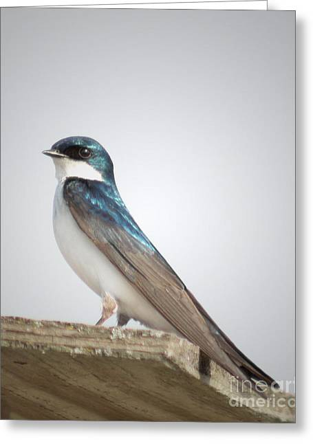 Ornithology Greeting Cards - Tree Swallow Portrait Greeting Card by Anita Oakley