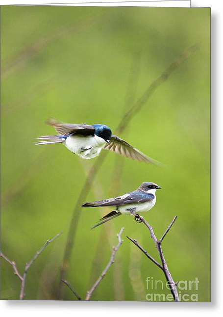 Tree Swallows - D008997 Greeting Card by Daniel Dempster