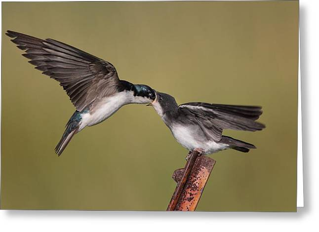 Colorful Trees Pyrography Greeting Cards - Tree Swallows Feeding Greeting Card by Daniel Behm