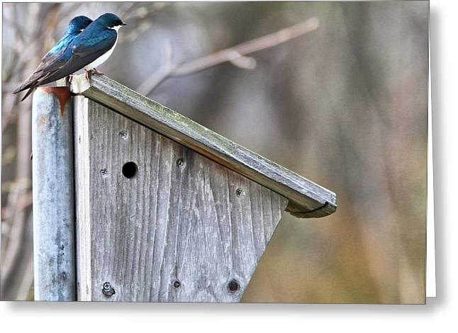 Bird On Tree Greeting Cards - Tree Swallows On Birdhouse Greeting Card by Dan Sproul