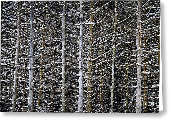 Nature Scene Greeting Cards - Tree trunks in winter Greeting Card by Elena Elisseeva