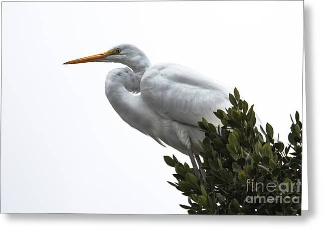 Treed Egret Greeting Card by Robert Bales
