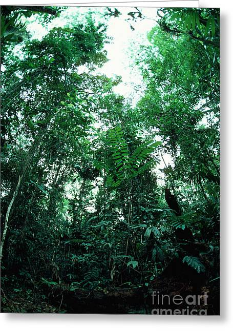 Moist Greeting Cards - Treefall Gap In Rainforest Greeting Card by Gregory G. Dimijian, M.D.