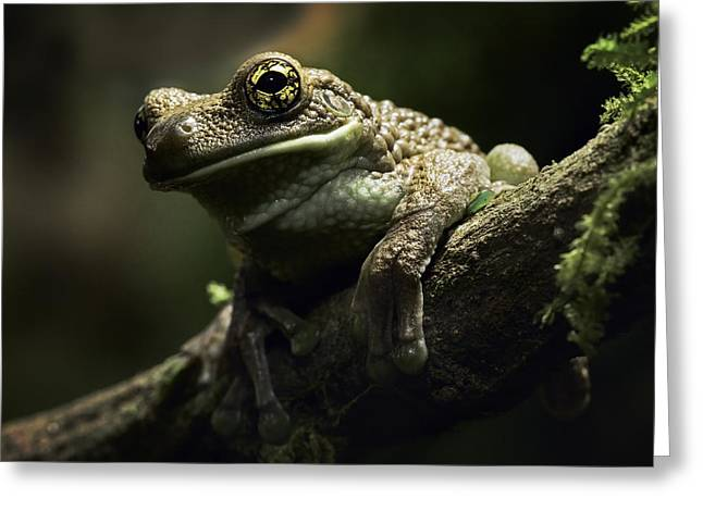 Treefrog Greeting Cards - treefrog at night in Amazon rain forest Greeting Card by Dirk Ercken