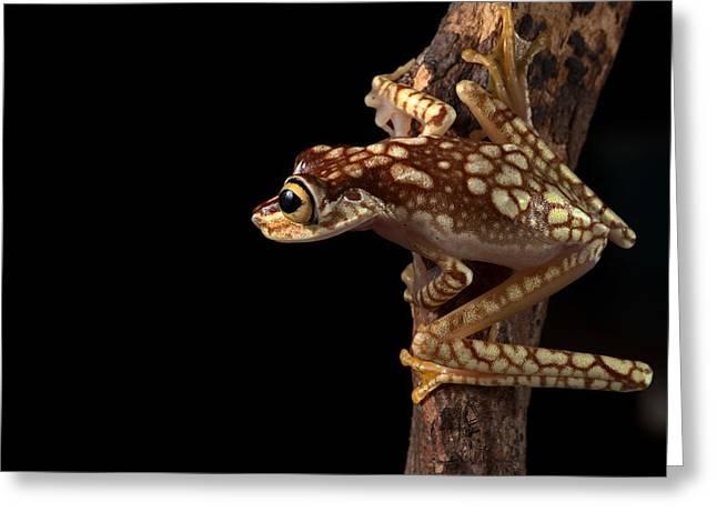 Tree Frog Greeting Cards - Treefrog Greeting Card by Dirk Ercken