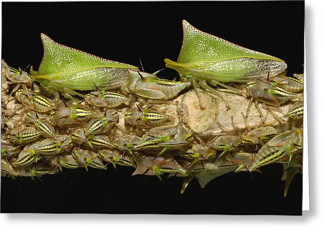 True Color Photograph Greeting Cards - Treehoppers And Nymphs Mindo Ecuador Greeting Card by Pete Oxford