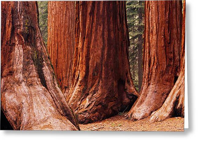 Sequoia National Park Greeting Cards - Trees At Sequoia National Park Greeting Card by Panoramic Images