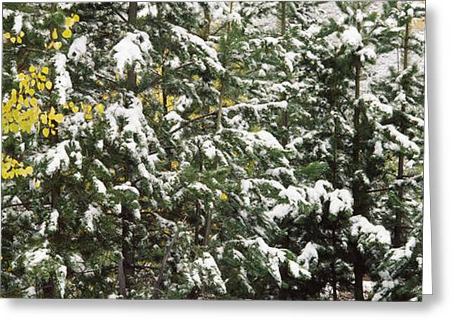Fir Trees Photographs Greeting Cards - Trees Covered With Snow, Grand Teton Greeting Card by Panoramic Images