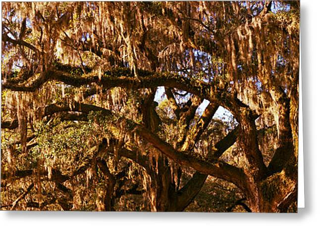 Garden Scene Photographs Greeting Cards - Trees Covered With Spanish Moss, Boone Greeting Card by Panoramic Images