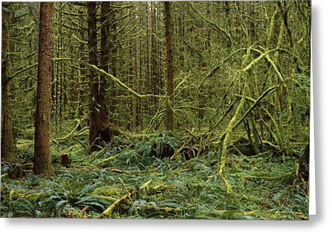 Moss Greeting Cards - Trees In A Forest, Hoh Rainforest Greeting Card by Panoramic Images