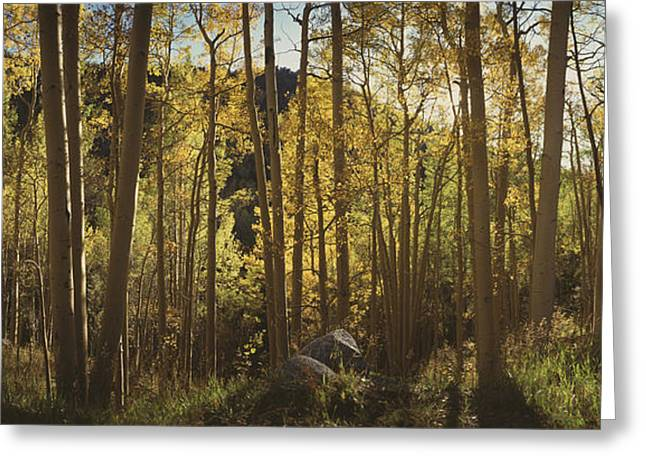 Trees In A Forest, Uncompahque National Greeting Card by Panoramic Images