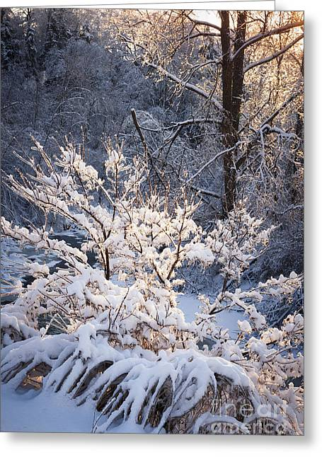 Sunflare Greeting Cards - Trees in forest after winter storm Greeting Card by Elena Elisseeva
