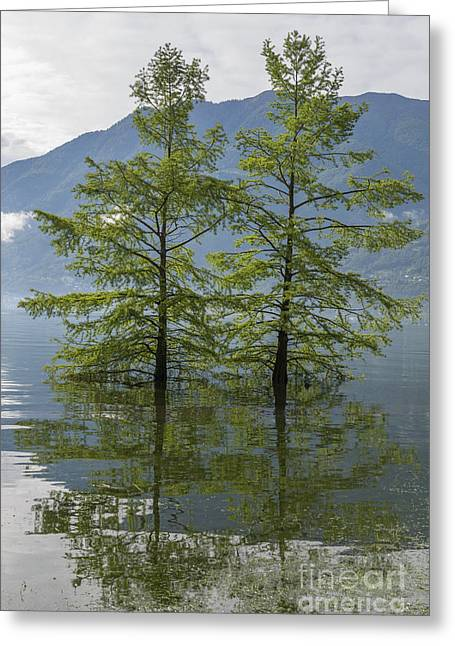Green Day Greeting Cards - Trees on a flooding alpine lake Greeting Card by Mats Silvan