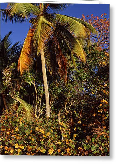Clear Fall Day Greeting Cards - Trees On The Beach, Cinnamon Bay Greeting Card by Panoramic Images