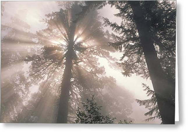Radiates Greeting Cards - Trees Redwood National Park Greeting Card by Panoramic Images