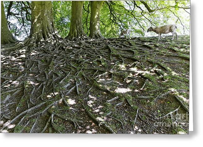 Tree Roots Greeting Cards - Trees Sheep and Roots in Wiltshire England Greeting Card by Robert Preston