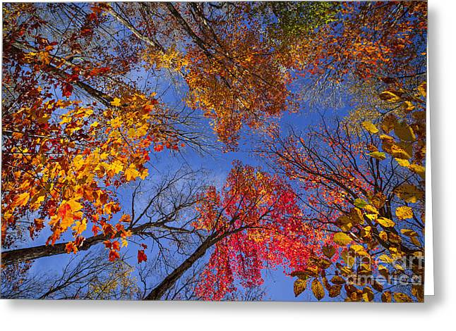 Fall Trees Greeting Cards - Treetops in fall forest Greeting Card by Elena Elisseeva