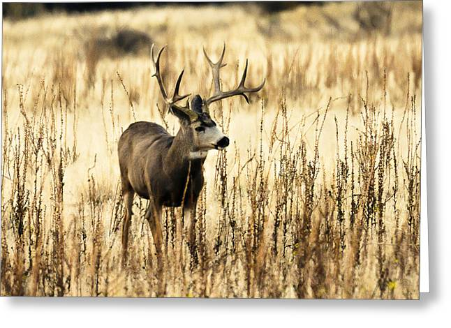 Mule Deer Buck Photograph Greeting Cards - Tremendous Antlers  Greeting Card by Bruce J Barker