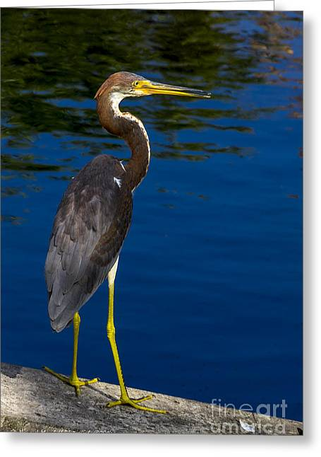 J N Ding Darling National Wildlife Refuge Greeting Cards - Tri-color Heron 2 Greeting Card by Nancy L Marshall