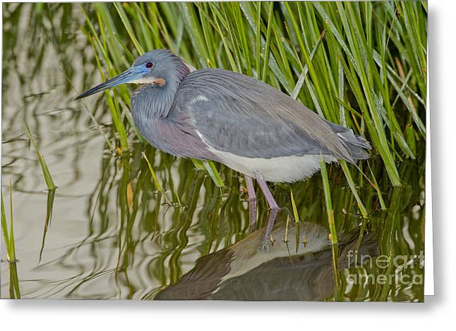 Egretta Tricolor Greeting Cards - Tri-colored Heron Greeting Card by Anthony Mercieca