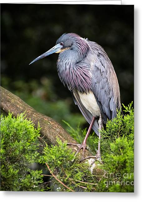 Tri Colored Heron Greeting Card by Caisues Photography