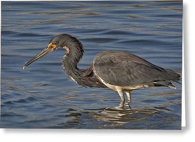 Louisiana Heron Greeting Cards - Tri Colored Heron Fishing Greeting Card by Susan Candelario