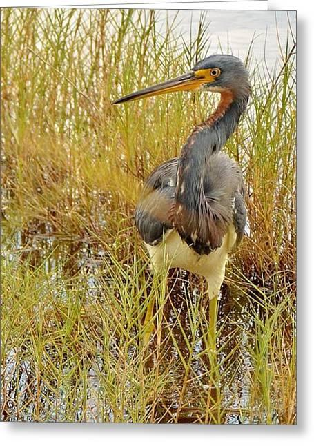 Merrit Greeting Cards - Tri-colored Heron Greeting Card by Sara Edens