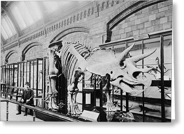 1907 Greeting Cards - Triceratop dinosaur skeleton Greeting Card by Science Photo Library