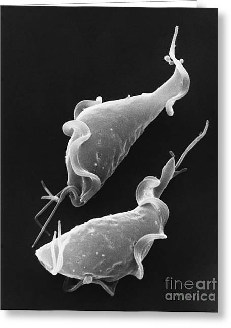 Excavata Greeting Cards - Trichomonas Vaginalis Sem Greeting Card by David M. Phillips / The Population Council