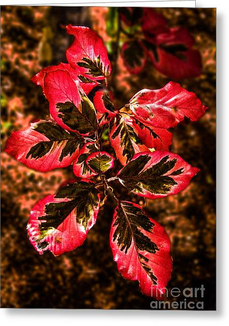 Picturesqueness Greeting Cards - Tricolor Beech Tree Greeting Card by Robert Bales