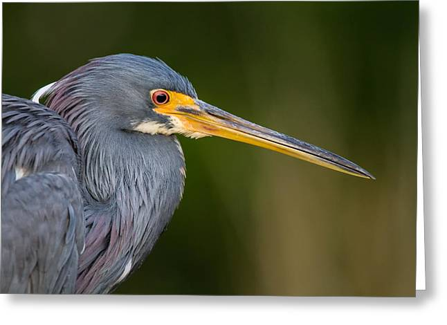 Wild Life Photographs Greeting Cards - Tricolored Heron Closeup Greeting Card by Andres Leon