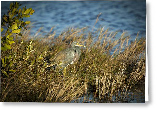 Louisiana Heron Greeting Cards - Tricolored Heron Hunting Merritt Island Florida Greeting Card by Rich Franco