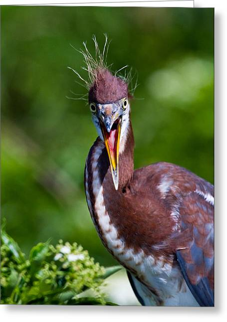 Lake Greeting Cards - Tricolored Heron in Awe Greeting Card by Andres Leon