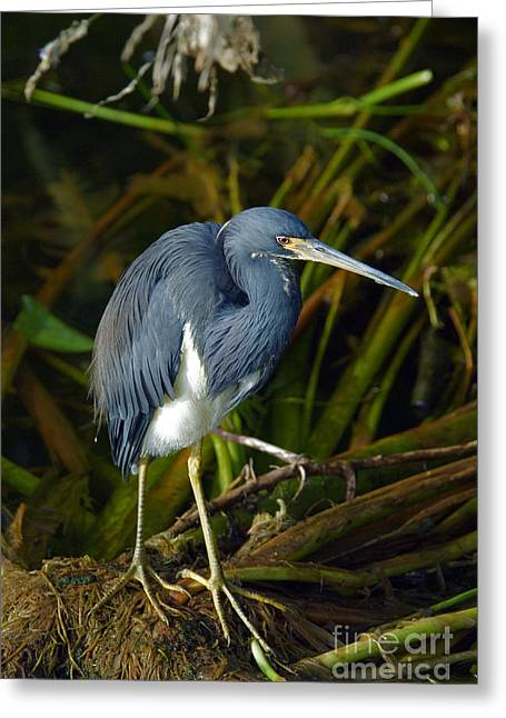 Egretta Tricolor Greeting Cards - Tricolored Heron Greeting Card by Mark Newman