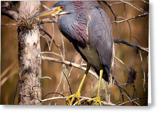 Tricolored Heron Greeting Cards - Tricolored Heron Greeting Card by Mountain Dreams