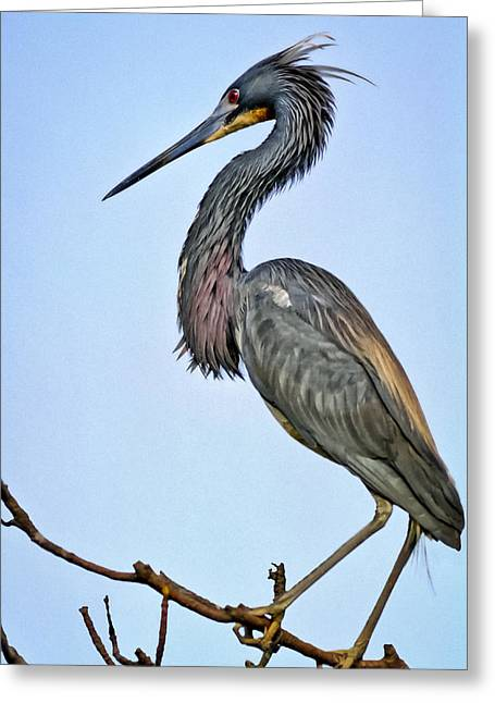 Louisiana Heron Greeting Cards - Tricolored Heron Greeting Card by Patrick M Lynch