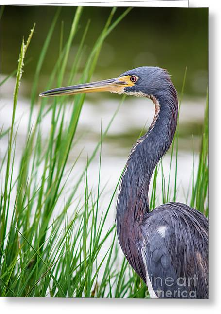 Cabin Window Greeting Cards - Tricolored Heron Greeting Card by Robert Frederick