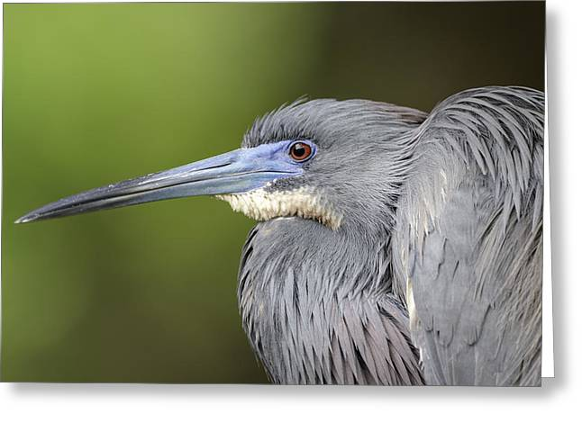 Tricolored Heron Greeting Cards - Tricolored Portrait Greeting Card by Cheryl Schneider