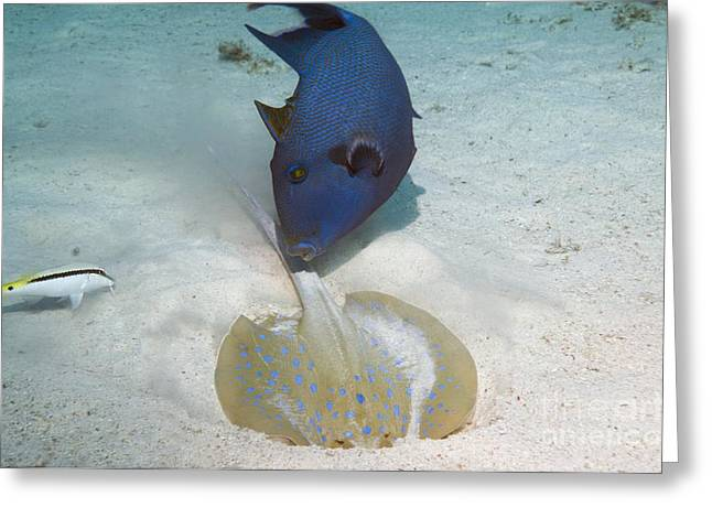 Spotted Blue Fish Greeting Cards - Triggerfish And Ray Greeting Card by Georgette Douwma