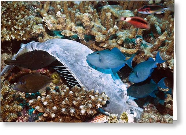 Acanthuridae Greeting Cards - Triggerfish feeding on a dead Greeting Card by Science Photo Library