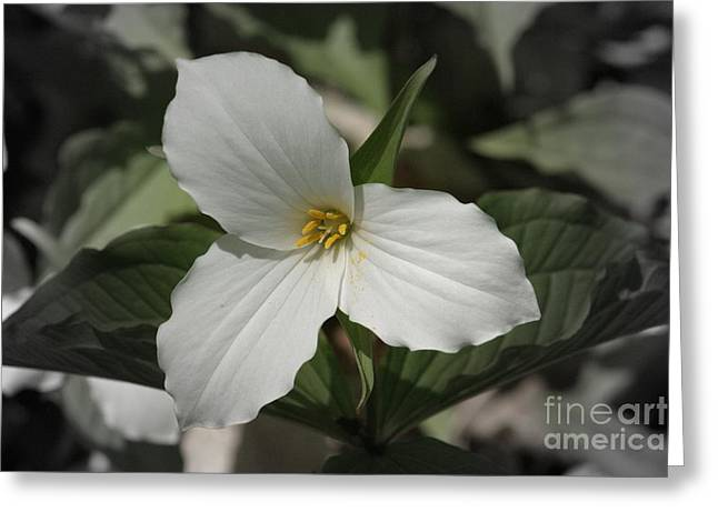 Stigma Greeting Cards - Trillium Greeting Card by Henry Kowalski